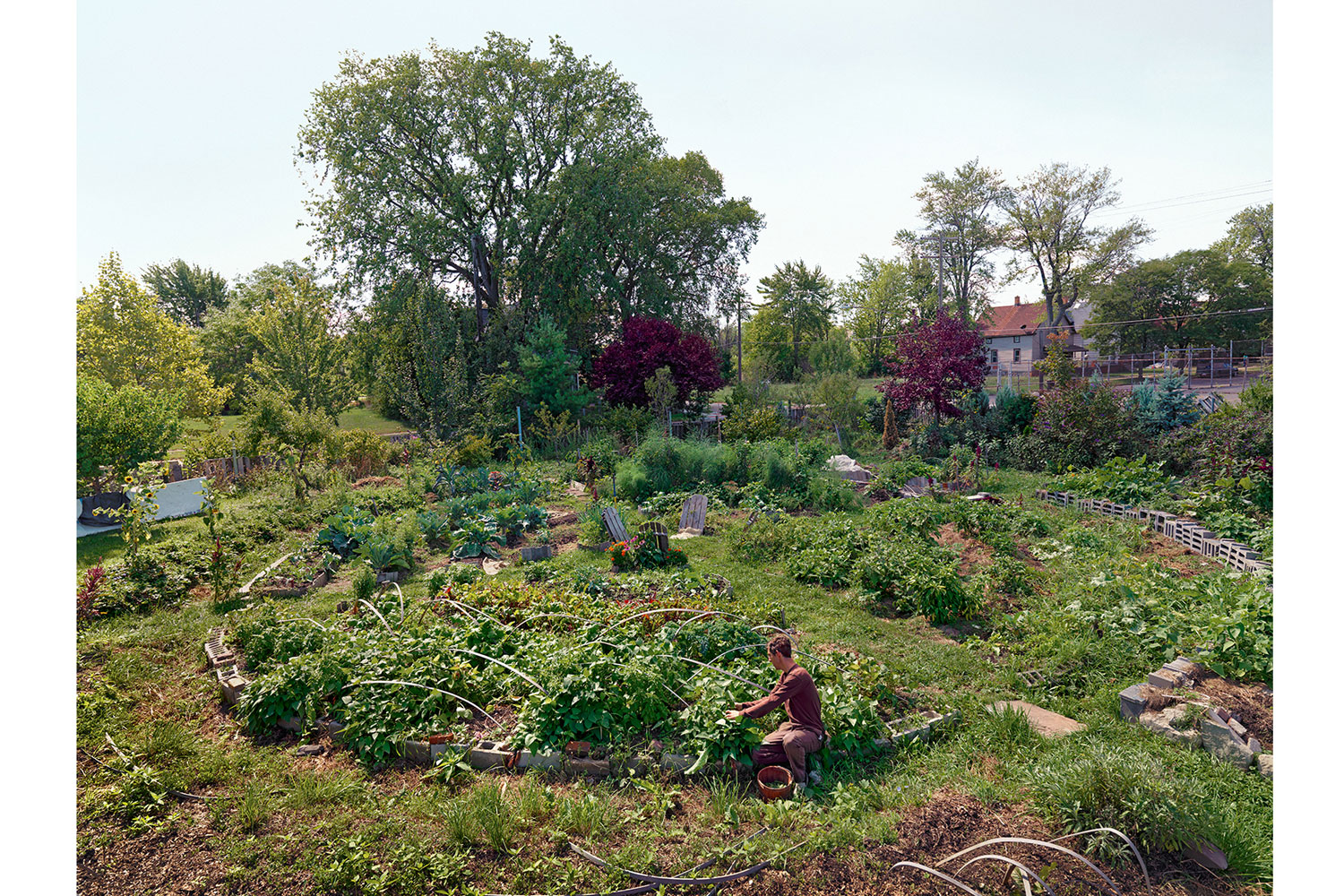 Andrew Harvesting in His Garden, Farnsworth Street, Detroit, 2012                                                              Andrew and his wife Kinga live almost entirely off of what their garden produces throughout the year.  They live on a street where many of the residents trade and barter with each other.