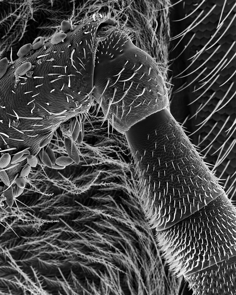 Antenna, 150x                                A side view of an antenna with pollen, branched hairs, and eye (far right).