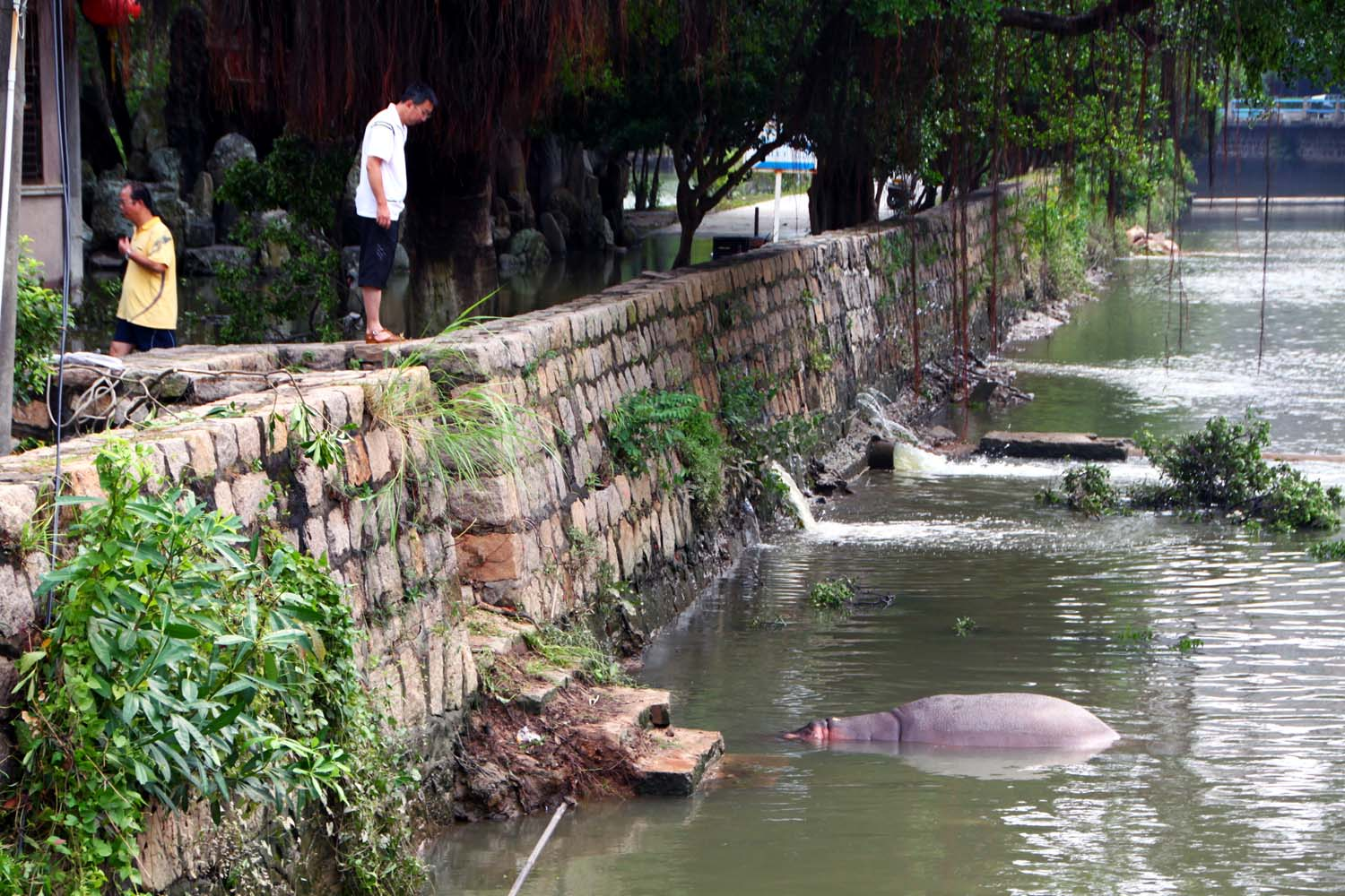 Sept. 23, 2013. A hippopotamus from Shantou Zoo swims in a nearby river after the zoo became submerged by flood waters, allowing the hippopotamus to swim across the zoo's boundary fence in Shantou, China.