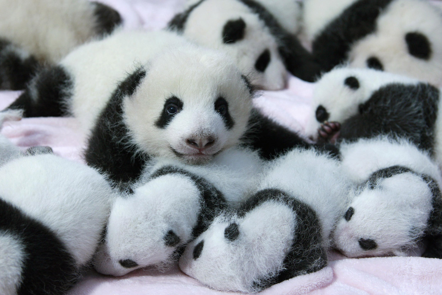 Sept. 23, 2013. Giant panda cubs lie in a crib at Chengdu Research Base of Giant Panda Breeding in Chengdu, Sichuan province, China.