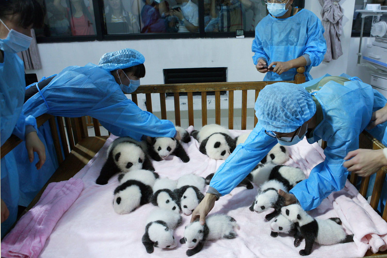 Sept. 23, 2013. Breeders take care of giant panda cubs inside a crib at Chengdu Research Base of Giant Panda Breeding in Chengdu, Sichuan province, China.