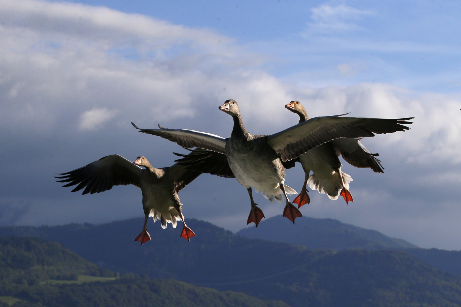 Sept. 21, 2013. Lesser White-fronted Geese prepare to land next to French pilot and migratory bird protector Christian Moulec (unseen) on a ultra light flight during the 40th Icare Cup paragliding festival in Saint Hilaire du Touvet, French Alps.