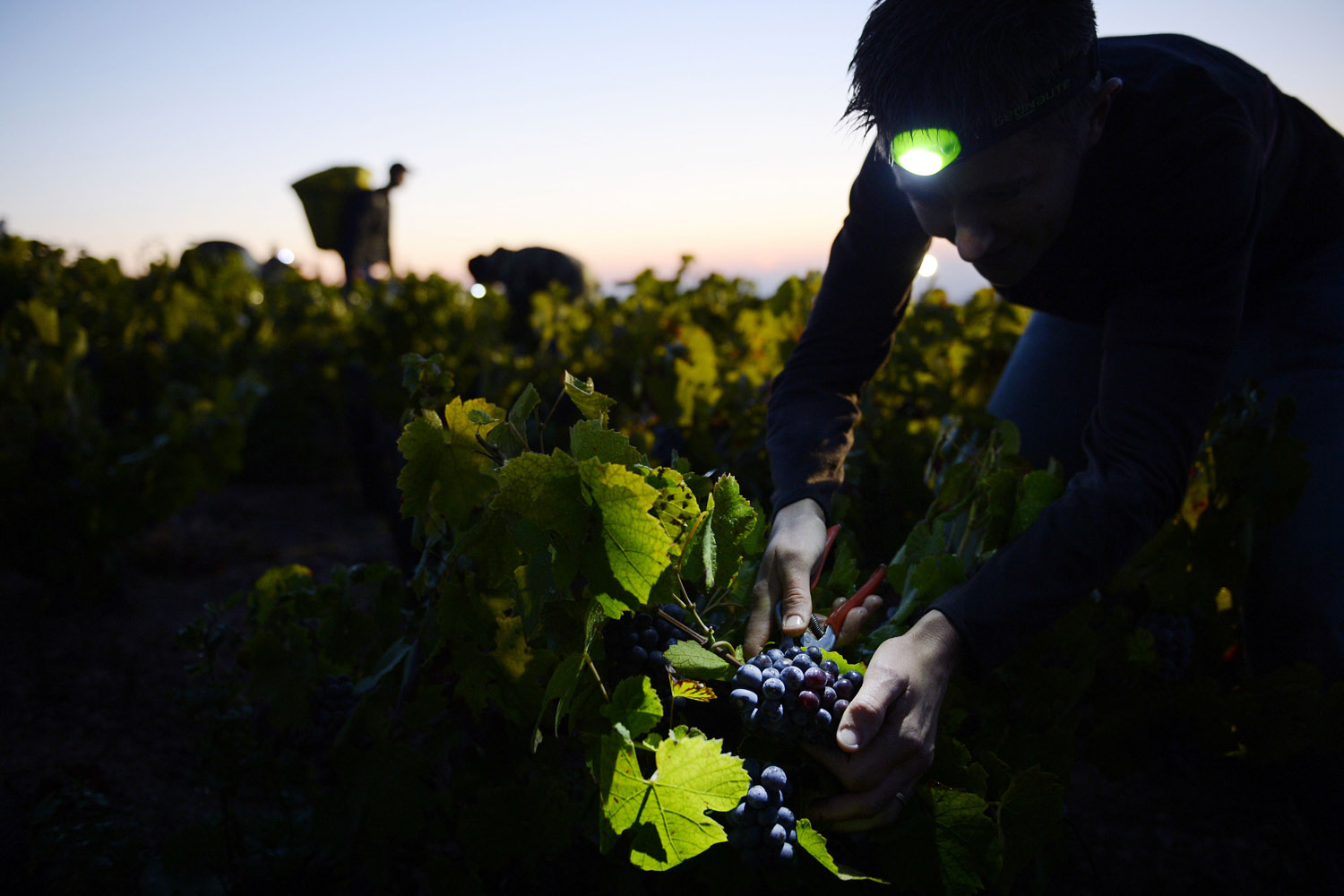 Sept. 24, 2013. A picker working overnight cuts grapes at dawn on the first day of the Beaujolais' harvest in the  Moulin a Vent  vineyard, near Chenas, Beaujolais, eastern France.
