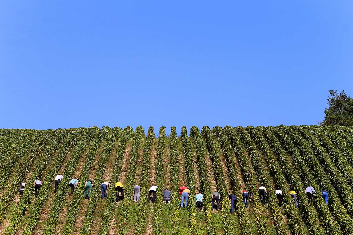 Sept. 24, 2013. People take part in the grape harvest for the Champagne house Koza-Janot in Buxeuil, France.