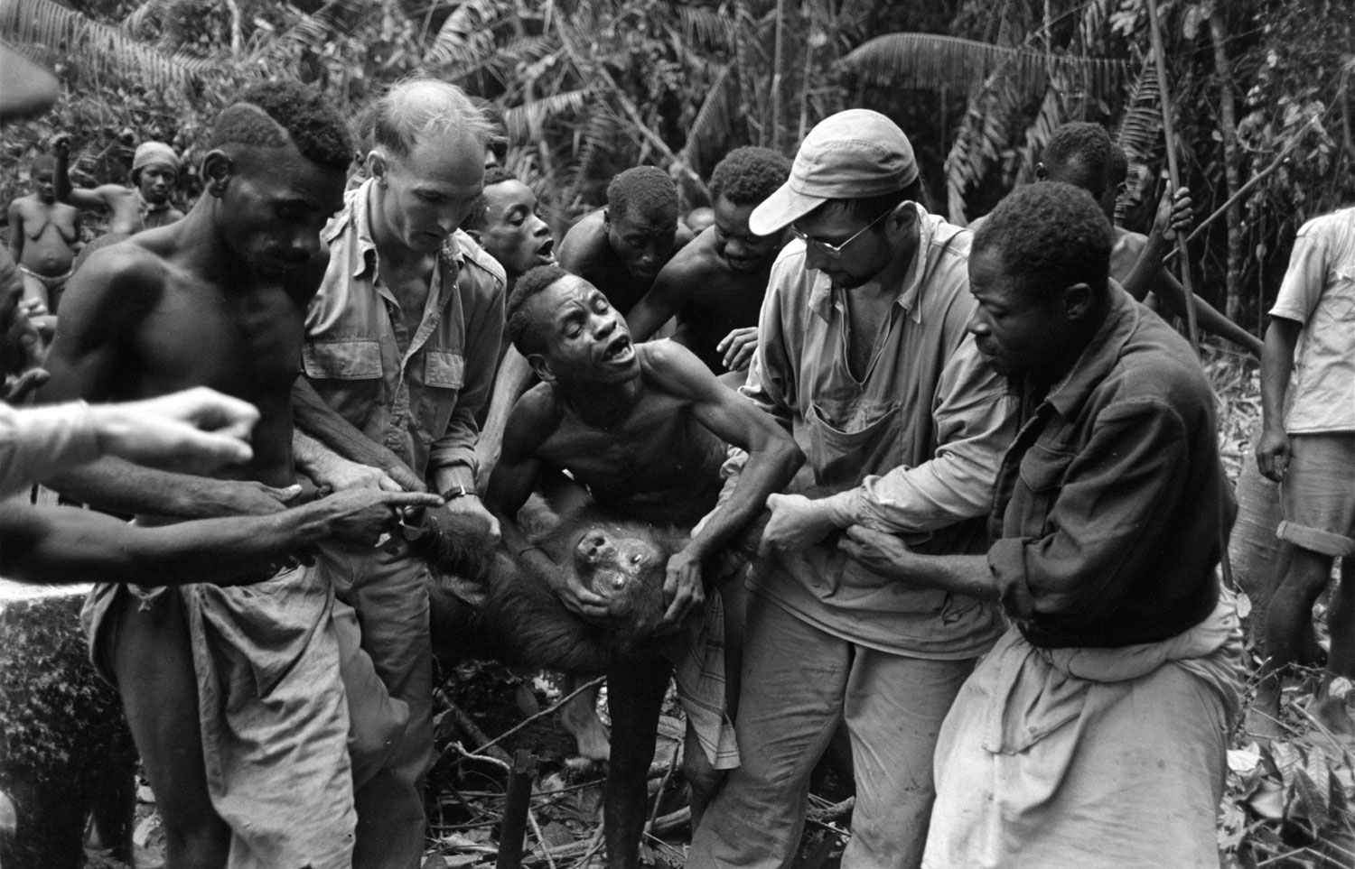 Caption from LIFE.  Subduing gorilla, a half-grown female weighing 70 pounds, requires the strength of Bill Said (white man at left), his assistant, John Biname (right), and several natives. Trick in capturing small gorillas is to get them by throat or by one arm and back of head in order to pin them down and keep them from biting.