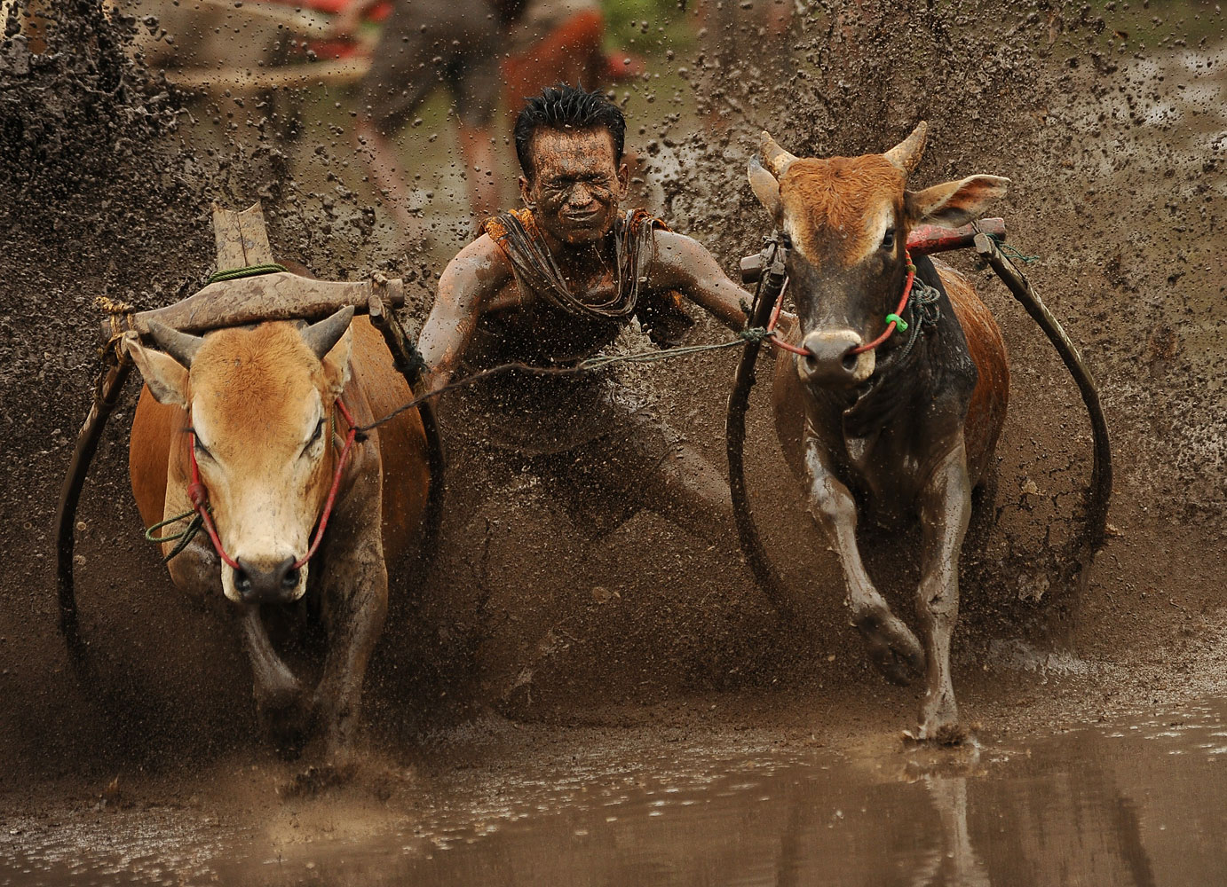 A jockey spurs cows in a Pacu Jawi (traditional cow racing), in Batusangkar Indonesia.