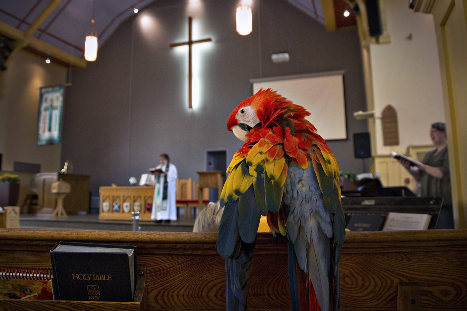 Oct. 6, 2013. A Scarlet Macaw named Princess Tiffany is perched on a pew in St. Andrew's United Church in North Vancouver.