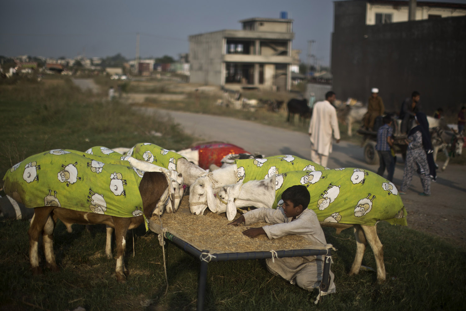 Oct. 7, 2013. A Pakistani boy feeds goats wearing sheep-print covers that are displayed for sale on a roadside, in preparation for the upcoming Muslim holiday of Eid al-Adha, or  Feast of Sacrifice,  on the outskirts of Islamabad, Pakistan.