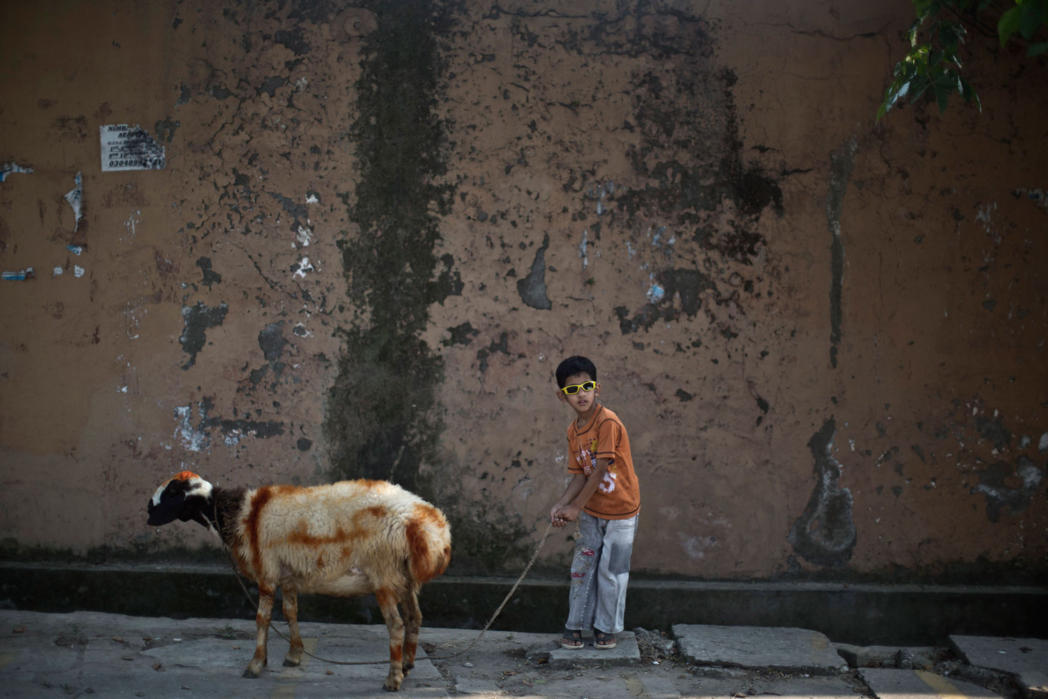 Oct. 11, 2013. Saad Imran, 6, walks his painted sheep home in Islamabad, Pakistan. The sheep will be slaughtered on the upcoming Muslim holiday of Eid al-Adha, or  Feast of Sacrifice.  Writing on the sheep read,  Eid,  or  Feast,  referring to the holiday.