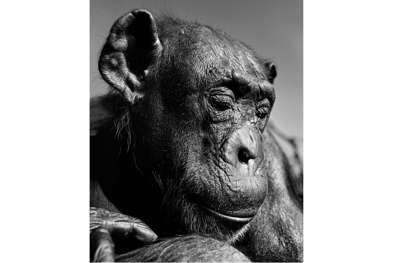 Exhibition.  Gary Heery: 1976-2013.  Black Eye Gallery, Sydney, Australia. November 13 - December 1, 2013. Pictured: Chimpanzee.