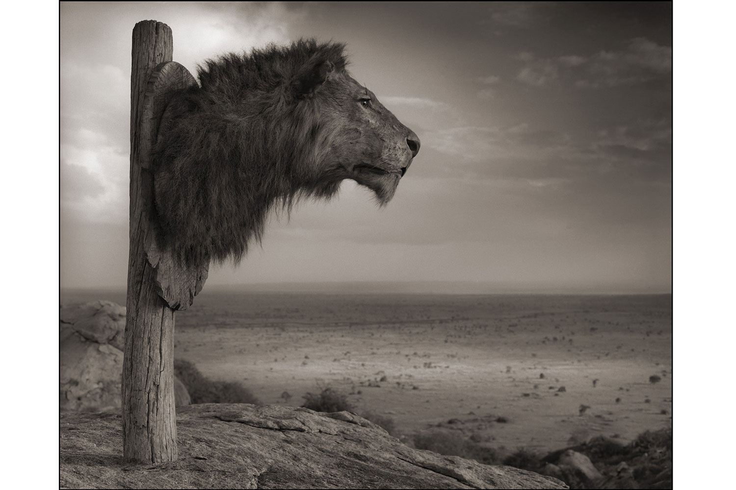 Exhibition. Nick Brandt,  Across the Ravaged Land.  Atlas Gallery, London, England. On view until November 10, 2013. Pictured: Trophy of Lion, Chyulu Hills, 2012.