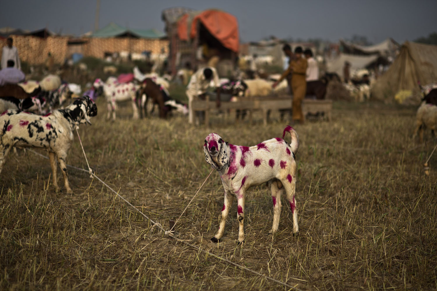 Oct. 10, 2013. A painted goat is displayed for sale at a market in preparation for the upcoming Muslim holiday of Eid al-Adha, or  Feast of Sacrifice,  on the outskirts of Islamabad, Pakistan.
