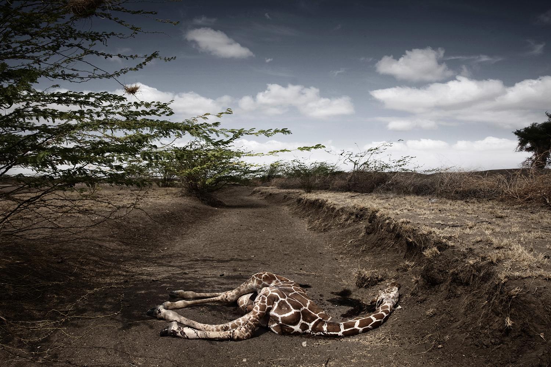 A giraffe lies dead, killed by drought in Wajir, North Eastern province, Kenya. Oct. 9, 2009.