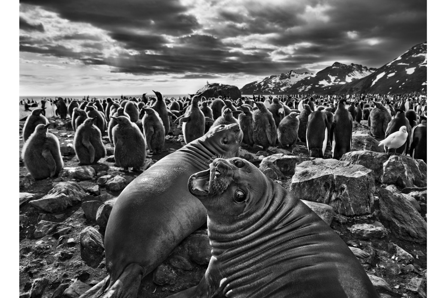 Pictured: On South Georgia, a barren island in the far South Atlantic, a pair of southern elephant seal calves beckon before a colony of king penguins.                                Genesis, Sebastiao Salgado's epic tome, records the last vestiges of Earth untouched by man. Page after page, it's a stunning masterpiece — a true book for the ages. —Kira Pollack, director of photography, TIME