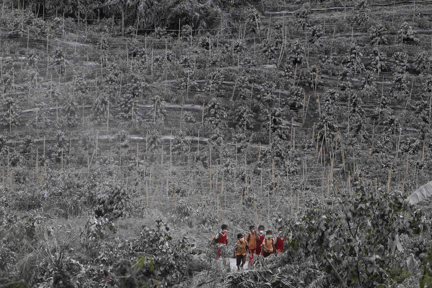 Nov. 8, 2013. Students walks between chilli trees covered by ash from Sinabung Mount as they return home at Kuta Rakyat village in Karo district, Indonesia's north Sumatra province.