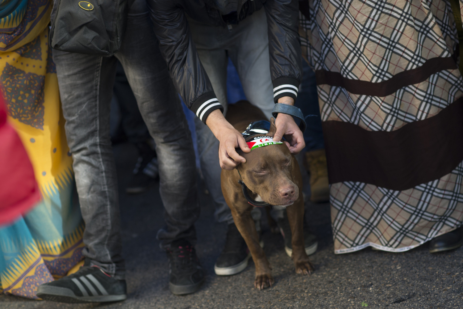 Nov. 9, 2013. An activist for the independence of Western Sahara places a sticker on a dog during an annual protest organized by the state coordinator of associations of solidarity in Madrid.