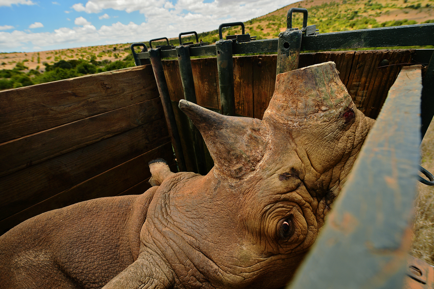 Aug. 26, 2013. A captured wild male black rhino named Sero at Lewa Wildlife looks out from its crate at Lewa conservancy in Kenya.