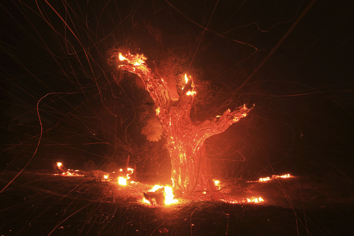 August 7, 2013. Wind-blown embers fly from an ancient oak tree that burned in the Silver Fire near Banning, Calif.