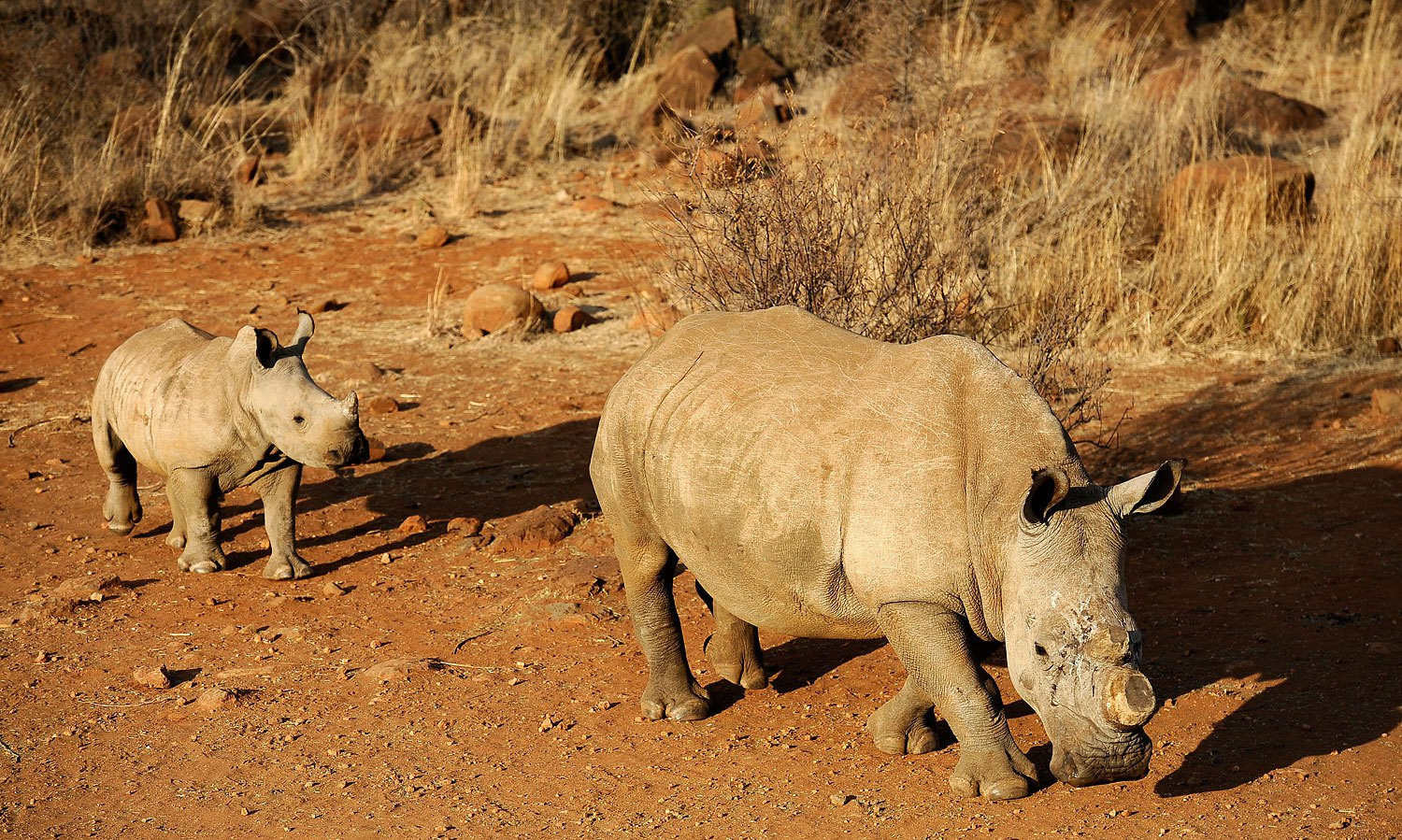 A black dehorned rhinoceros is followed by a calf on August 3, 2012 at the Bona Bona Game Reserve, southeast of Johannesburg, South Africa. The western black rhino subspecies (not pictured) has now been officially declared extinct.