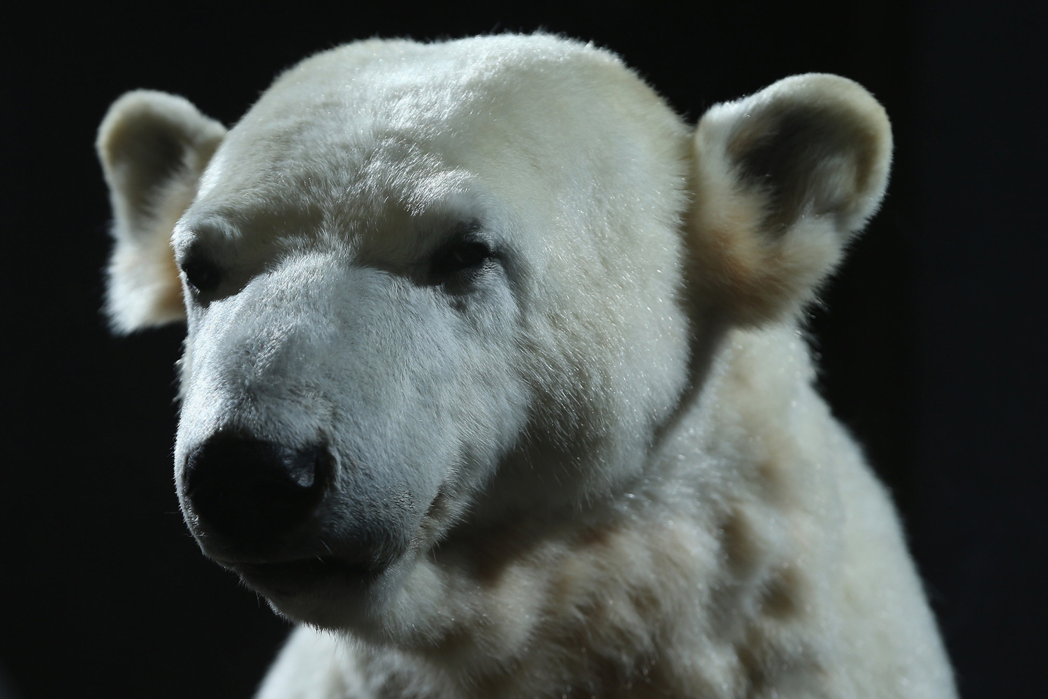 Feb. 16, 2013. A model of Knut the polar bear, that features Knut's original fur, stands on display to the public on its first day at the Natural History Museum in Berlin, Germany.