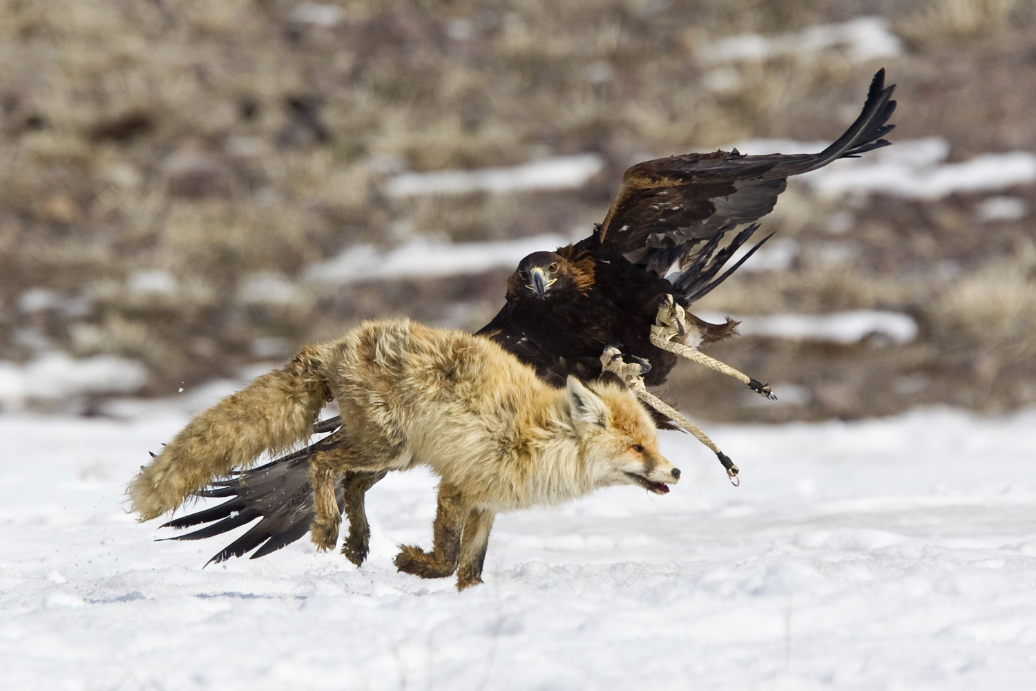 Feb. 23, 2013. A tamed golden eagle attacks a fox during an annual hunting competition in Chengelsy Gorge, some 150 km (93 miles) east of Almaty in Kazakhstan.