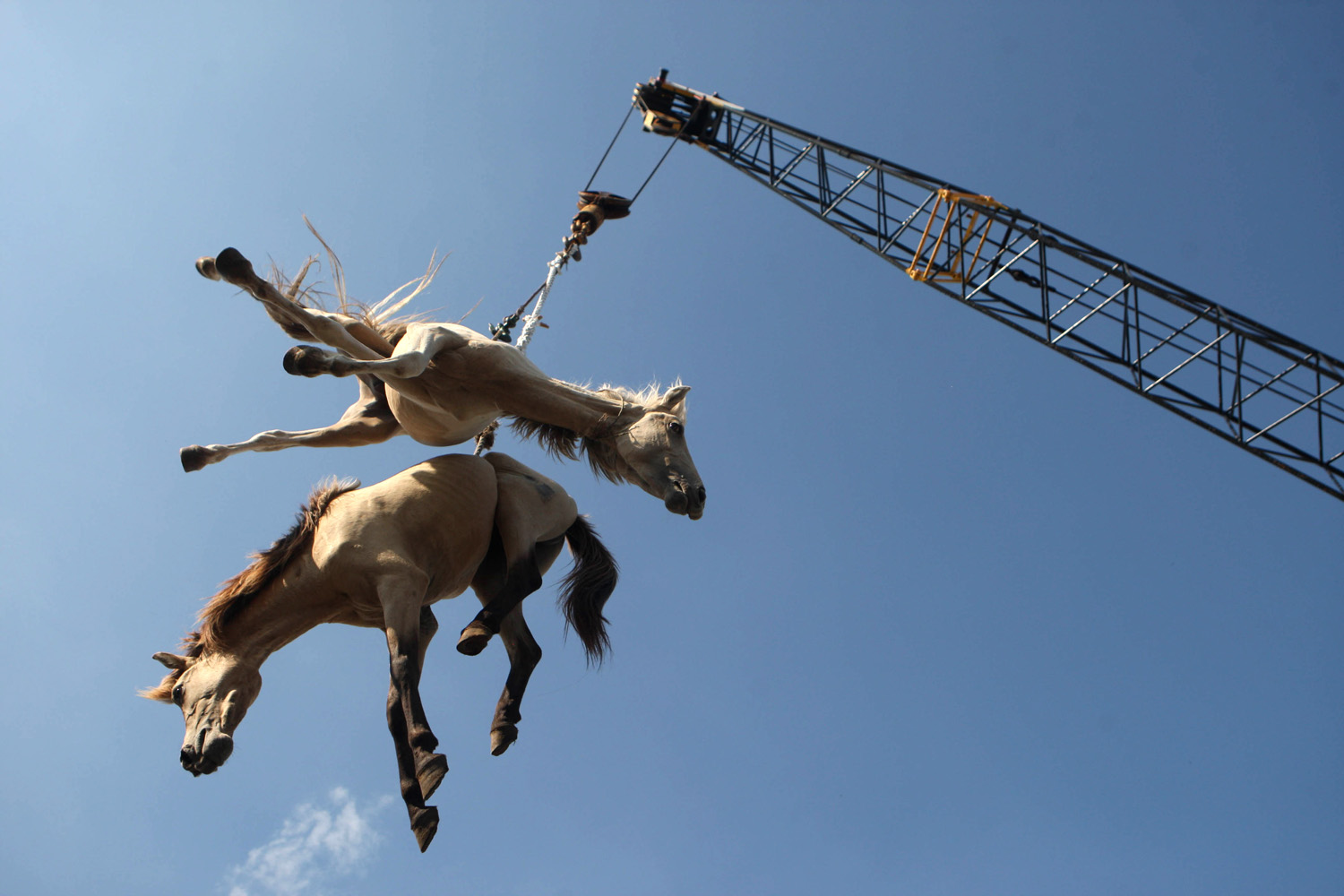Feb. 8, 2013. Horses are hoisted in the air by a crane as they're being transferred from a cargo ship onto a truck upon arrival at a port in Surabaya, East Java, Indonesia.