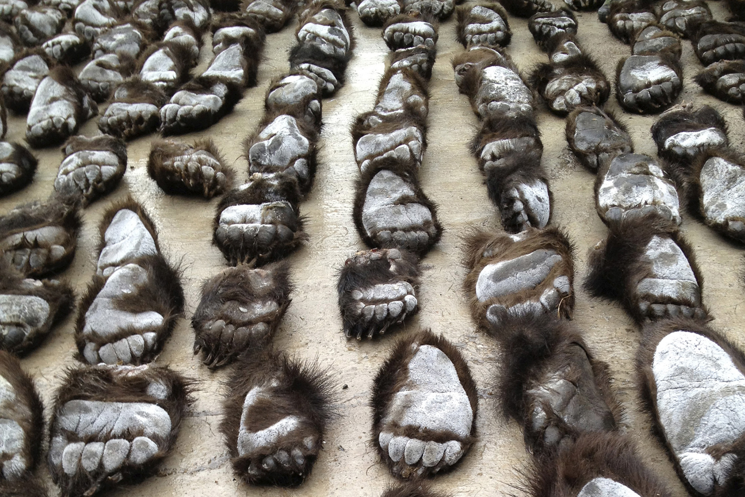June 15, 2013. Smuggled bear paws are recovered by Chinese customs officers at the China-Russia border in Manzhouli, Inner Mongolia Autonomous Region.