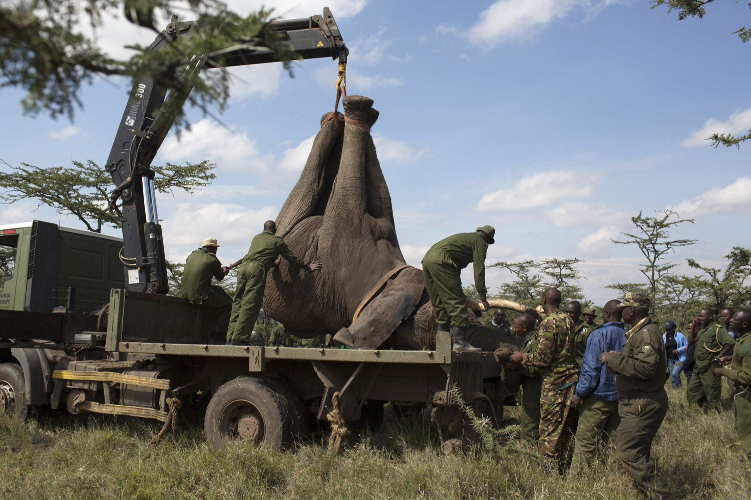 June 19, 2013. Kenya Wildlife Service (KWS) wardens secure a sedated elephant on the back of a truck during a relocation exercise, aimed at relocating to a national park 10 elephants that were encroaching on community land, on the margins of the Ol Pejeta conservancy in central Kenya.