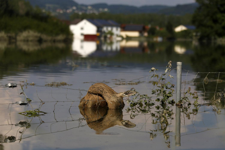 June 8, 2013. A dead deer hangs on a fence along the flooded A3 motorway near Deggendorf, Germany.
