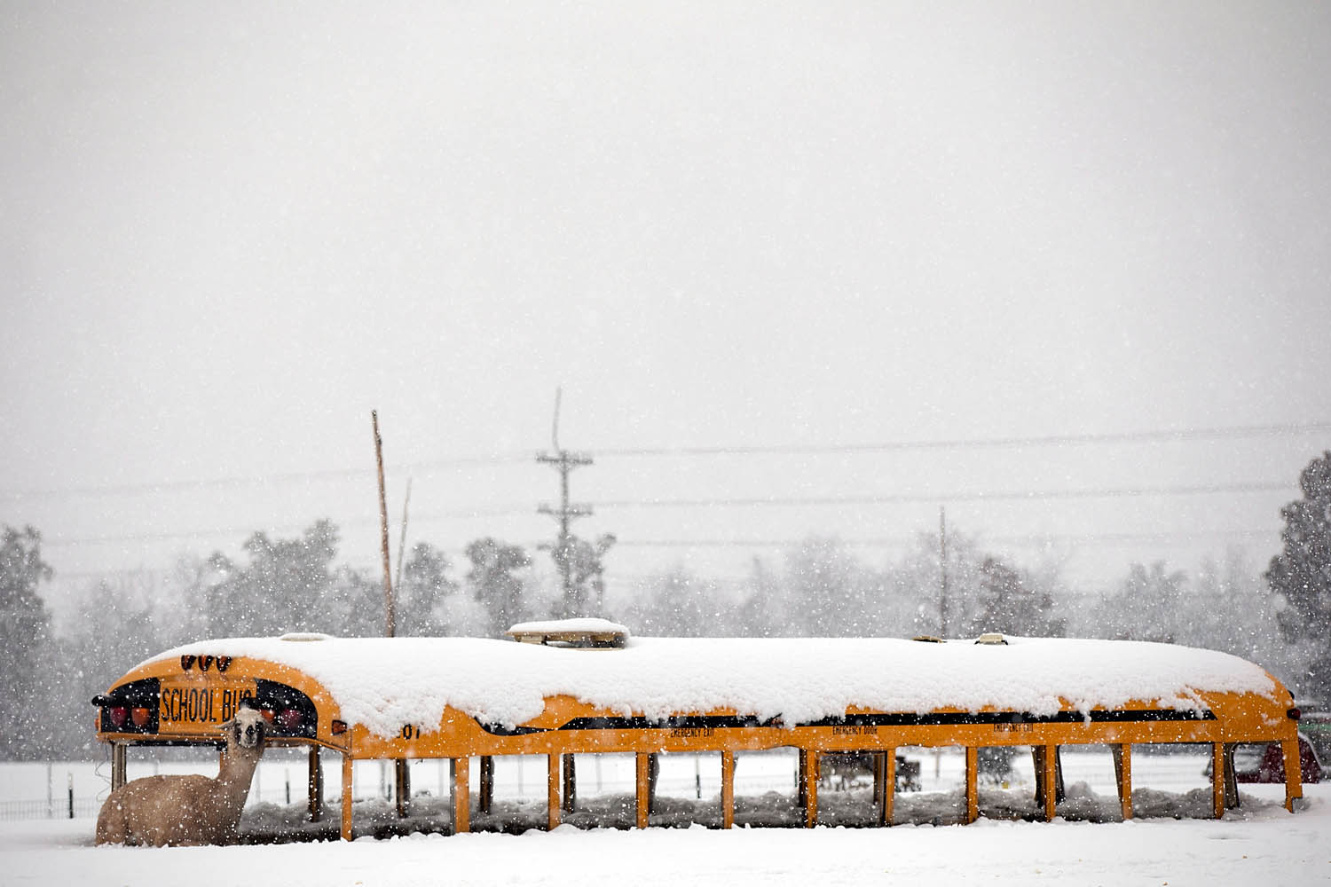 March 6, 2013.  A llama seeks shelter next to an abandoned school bus at Cox Farms in Centreville, Va.