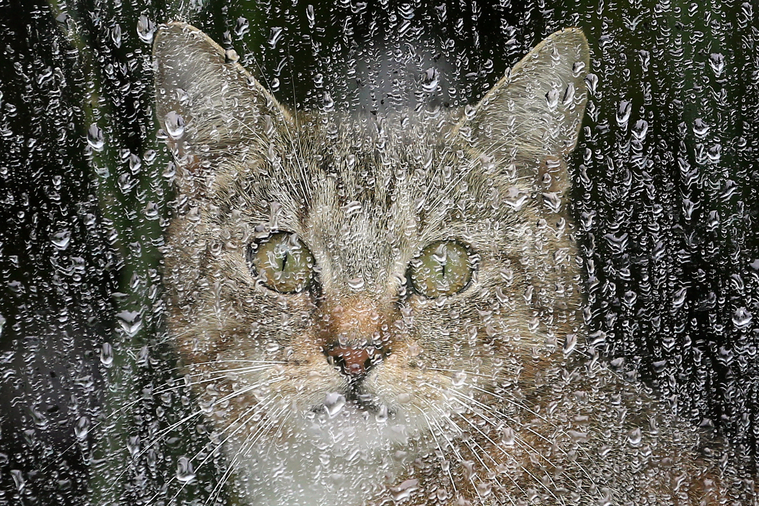 May 31, 2013. A cat sits behind a rainy window and looks out in Berlin, Germany.