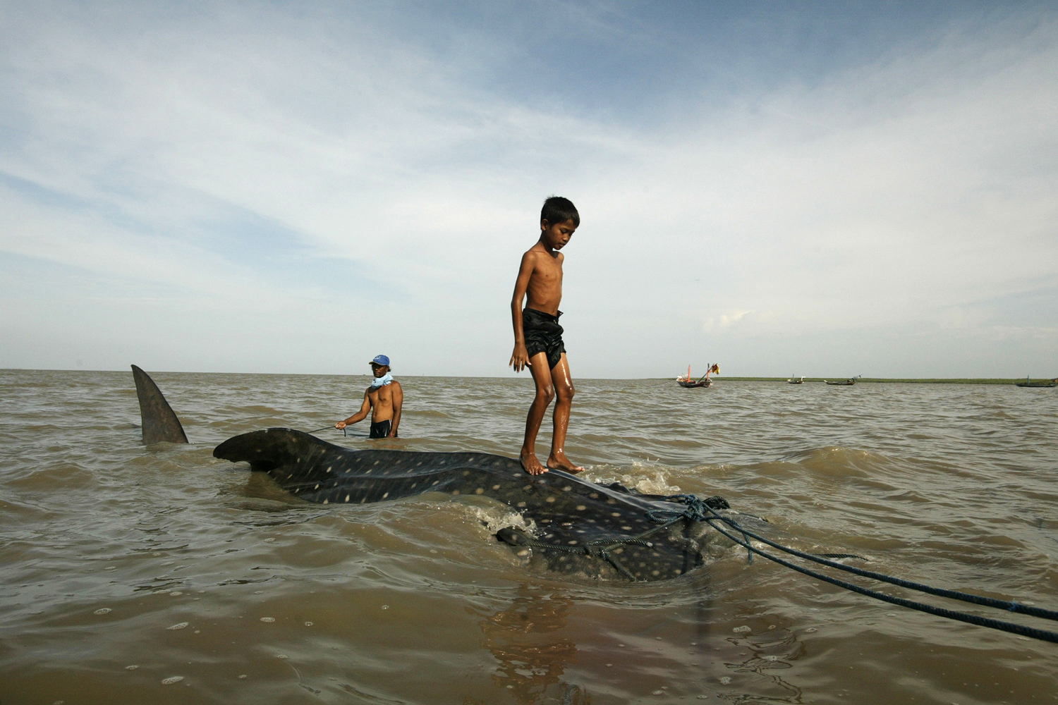 Oct. 22, 2013. A boy stands on a whale shark towed by fishermen along the coast of Surabaya in eastern Java island to be sold to prospective buyers after getting entangled in a fishing net.