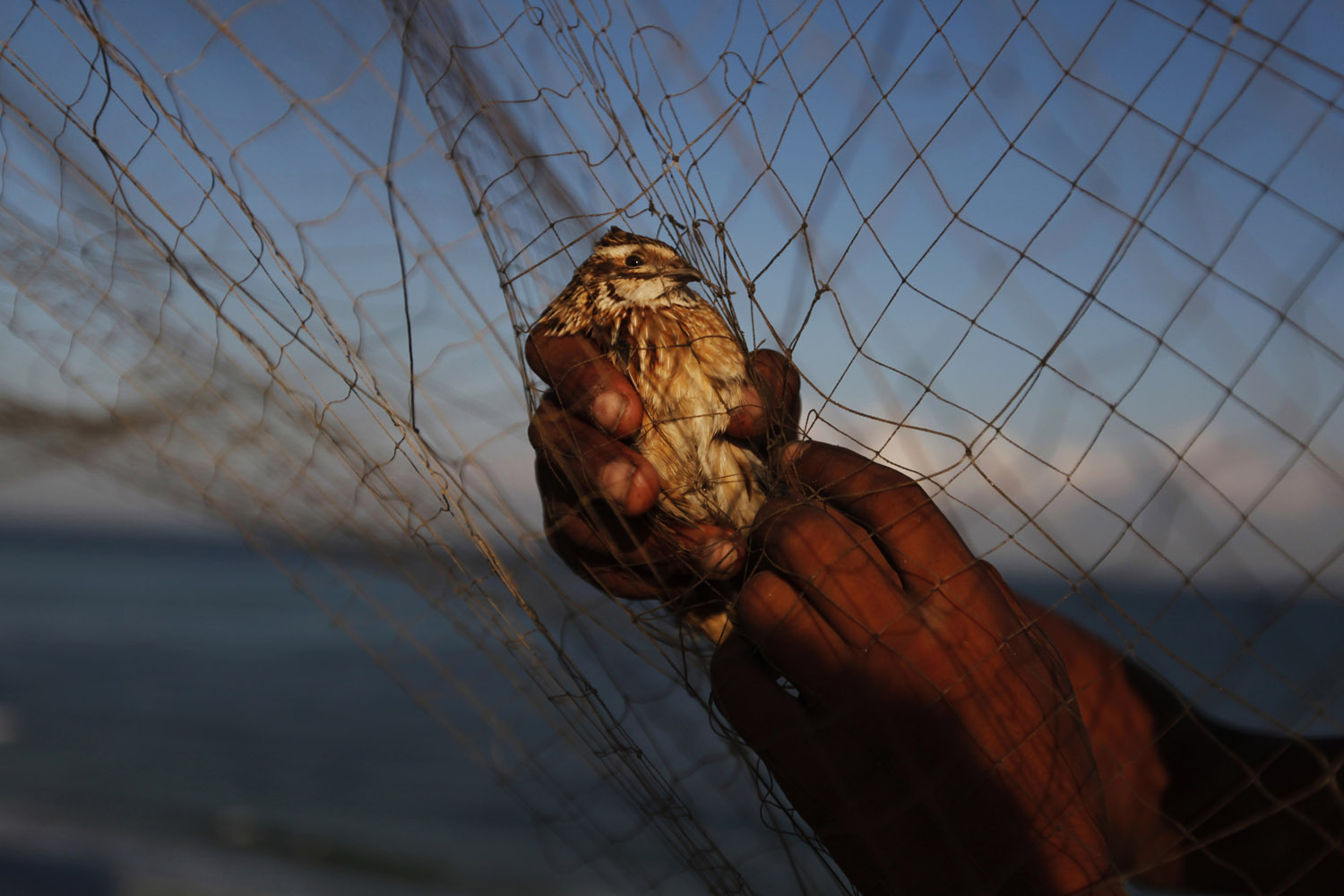 Sept. 9, 2013. A Palestinian child removes a migrant quail from a net after catching it on the beach of Gaza City.