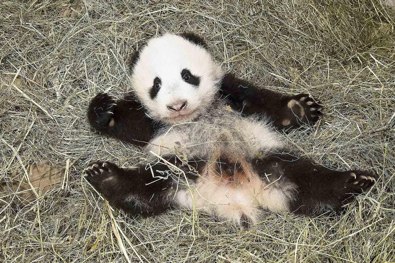 Nov. 26, 2013. This photo provided by the Schoenbrunn Zoo on Nov. 28, 2013 shows Panda baby 'Fu Bao' in Vienna, Austria.
