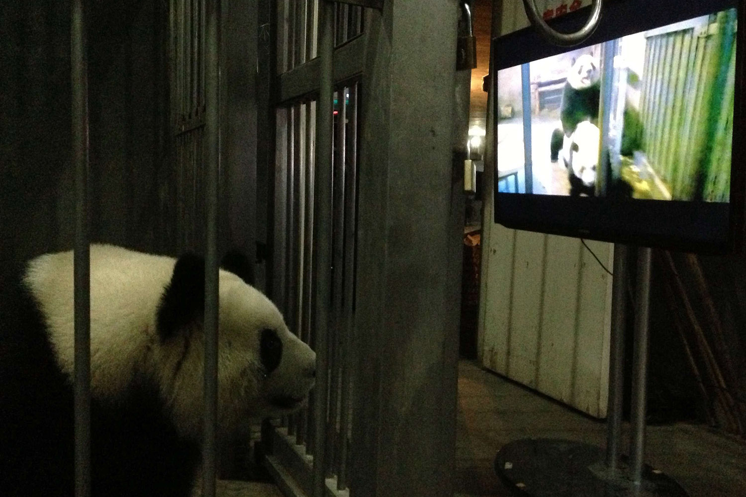 March 10, 2013. This photo provided by Chengdu Research Base of Giant Panda Breeding shows female giant panda Ke Lin watching a panda mating video, Sichuan province, China. According to the staff of the research base, they showed Ke Lin this video trying to let her know how to mate because she kept rejecting panda Yong Yong from mounting her although she was in oestrum. After watching this video, Ke Lin and Yong Yong successfully mated.