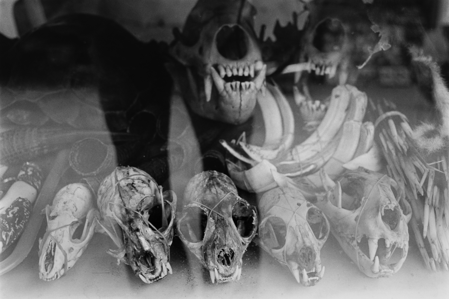 Thakhilek, Burma                                                                                             Tiger skulls, monkey skulls, deer horn and other wildlife products are for sale in a shop along the Thai-Burmese border. The town is a center for the sale and smuggling of poached animals, skins and parts.