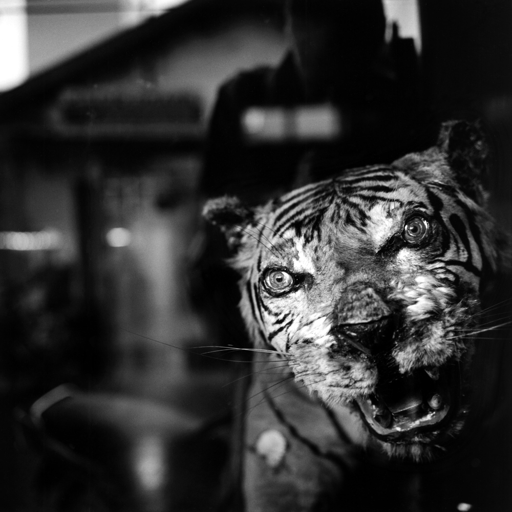 Phan Thiet, Vietnam                                                                                             A stuffed tiger is on display in a Chinese medicine shop.