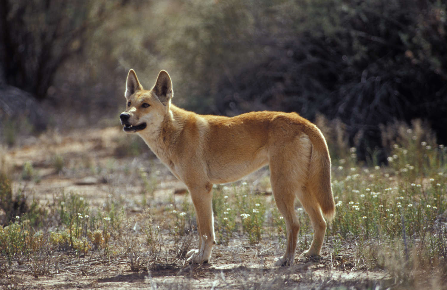 Dingoes are blamed for hunting the Tasmanian tiger to extinction. But humans bear the blame