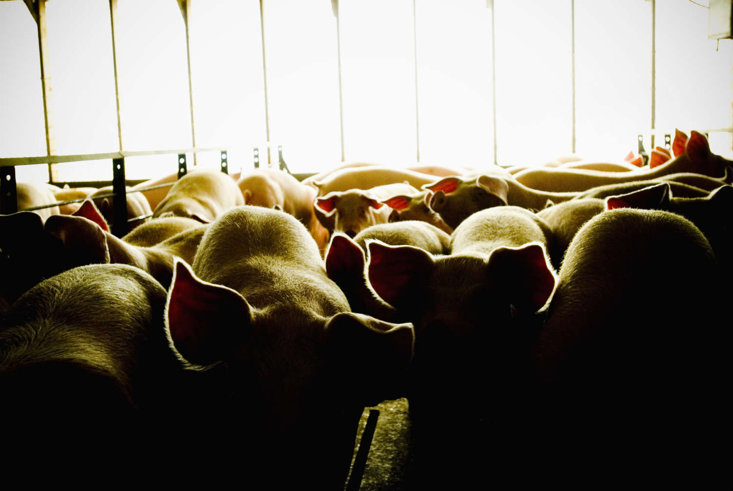 Experts worry that the overuse of antibiotics on livestock is leading to resistant-strains of bacteria