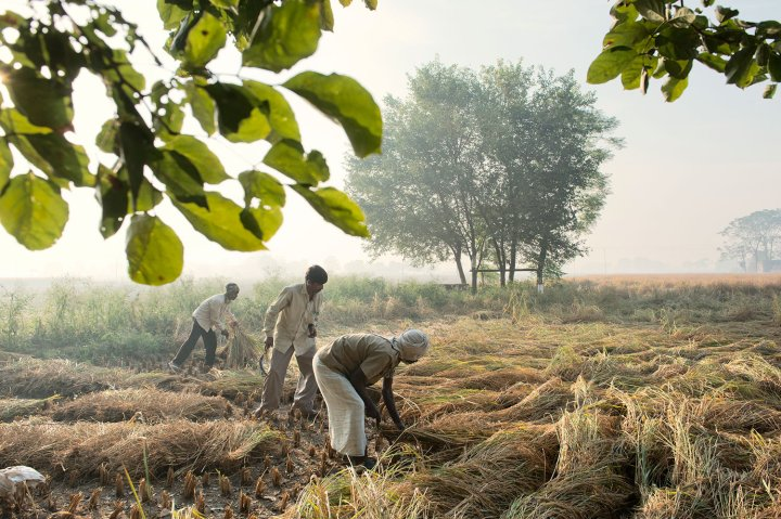 Farm laborers in Patiala harvest rice by hand