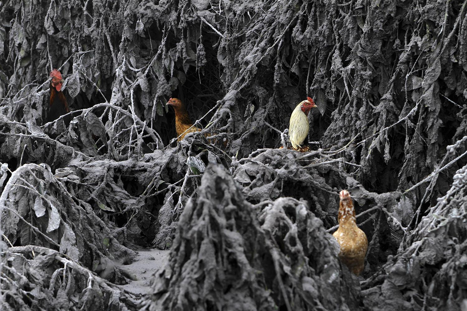 Jan. 12, 2014. Chickens are seen in the midst of plants covered by ash from Mount Sinabung near Sigarang-Garang village in Karo district, Indonesia's North Sumatra province.