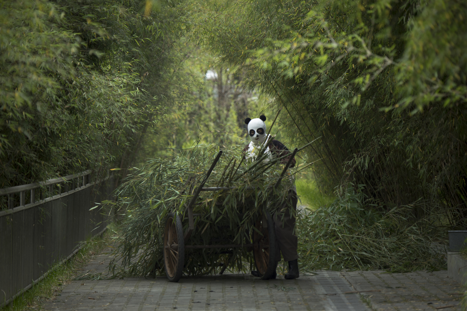 A caretaker brings bamboo to a captive panda that is being trained for release into the wild at the Wolong National Nature Reserve. Caretakers must dress as pandas so that the animals never see a human being before being released.
