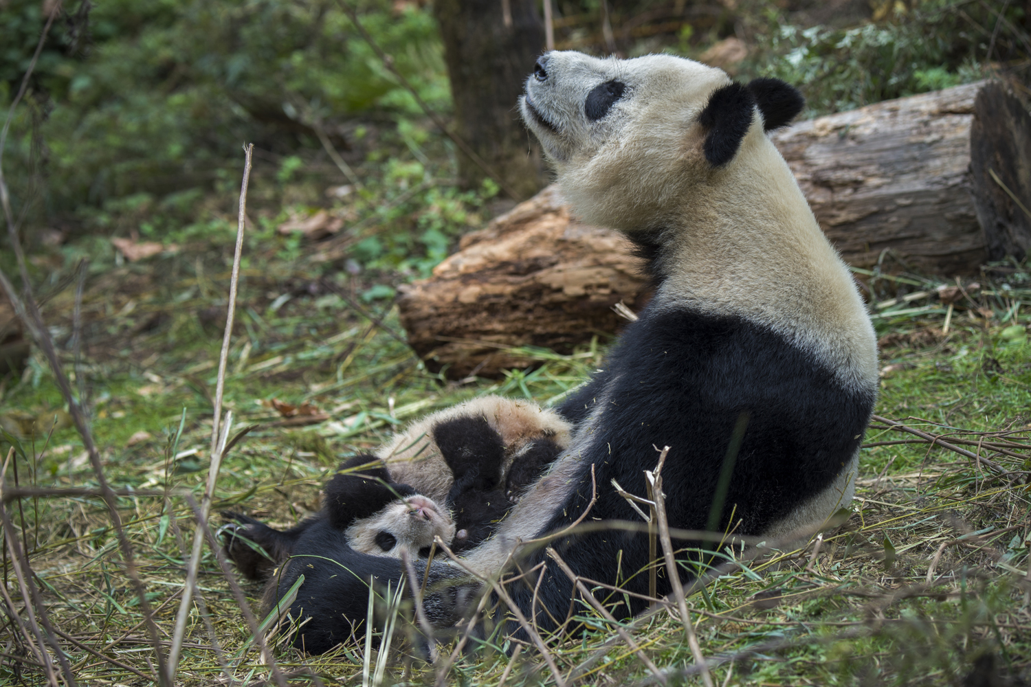 A 14 year old panda named YeYe holds her young cub.  The mother is captive born and her baby is being trained to be released back into the                               wild.