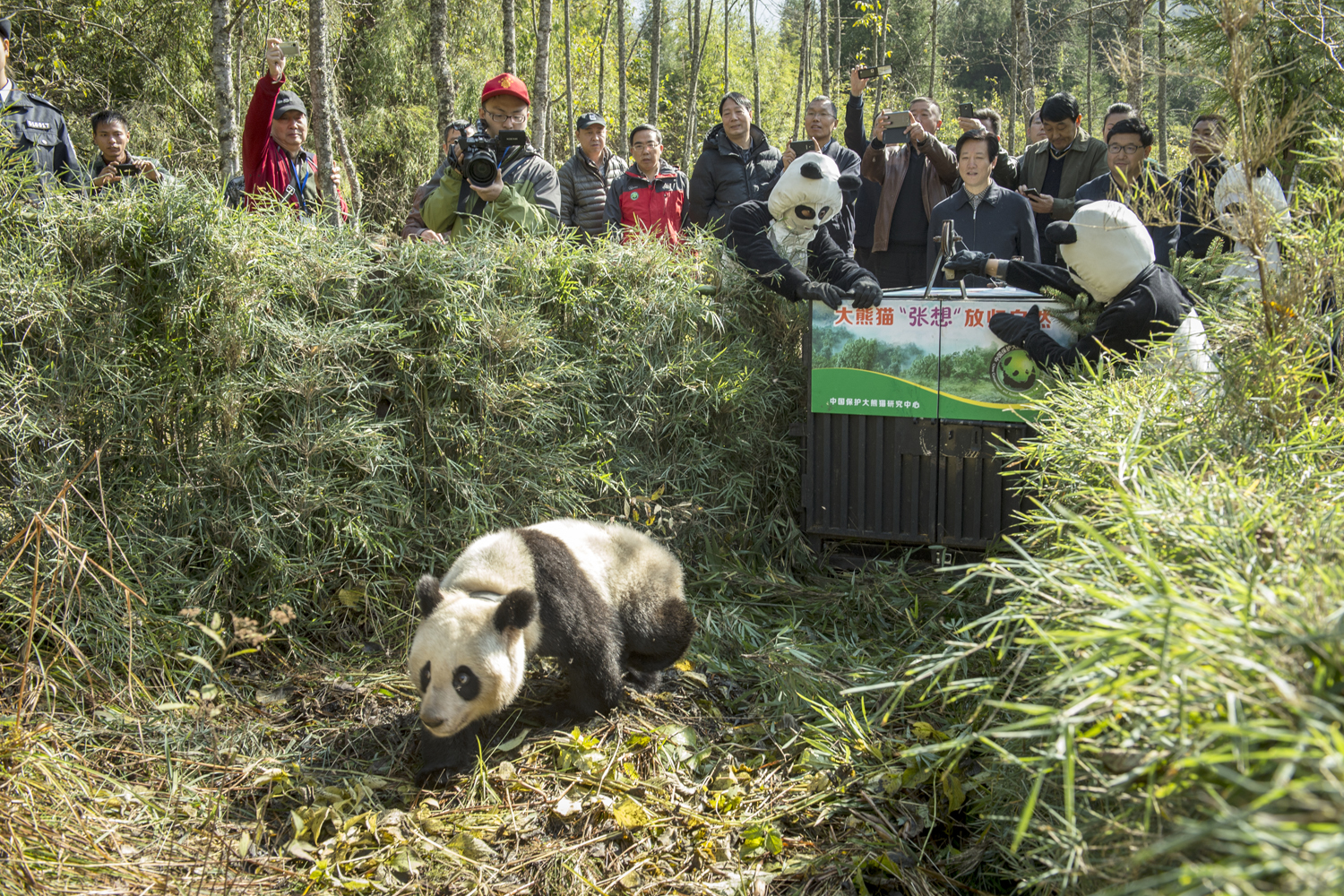 Zhang Xiang, a two -year old, captive-born was released into the wild last November.