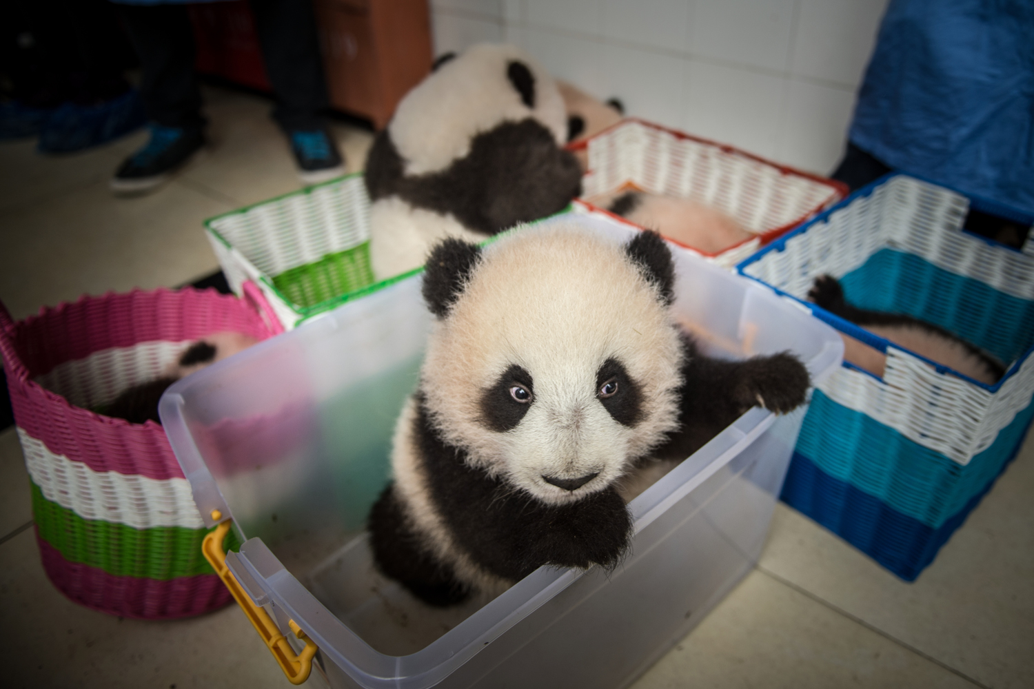 The following images were taken by Ami Vitale from Nov. 6, to Nov. 11,  2013                                                                                             A captive bred baby panda sits in a basket as it is moved from a building at the breeding center of Bifengxia Panda Base                               in Ya'an, Sichuan, China.