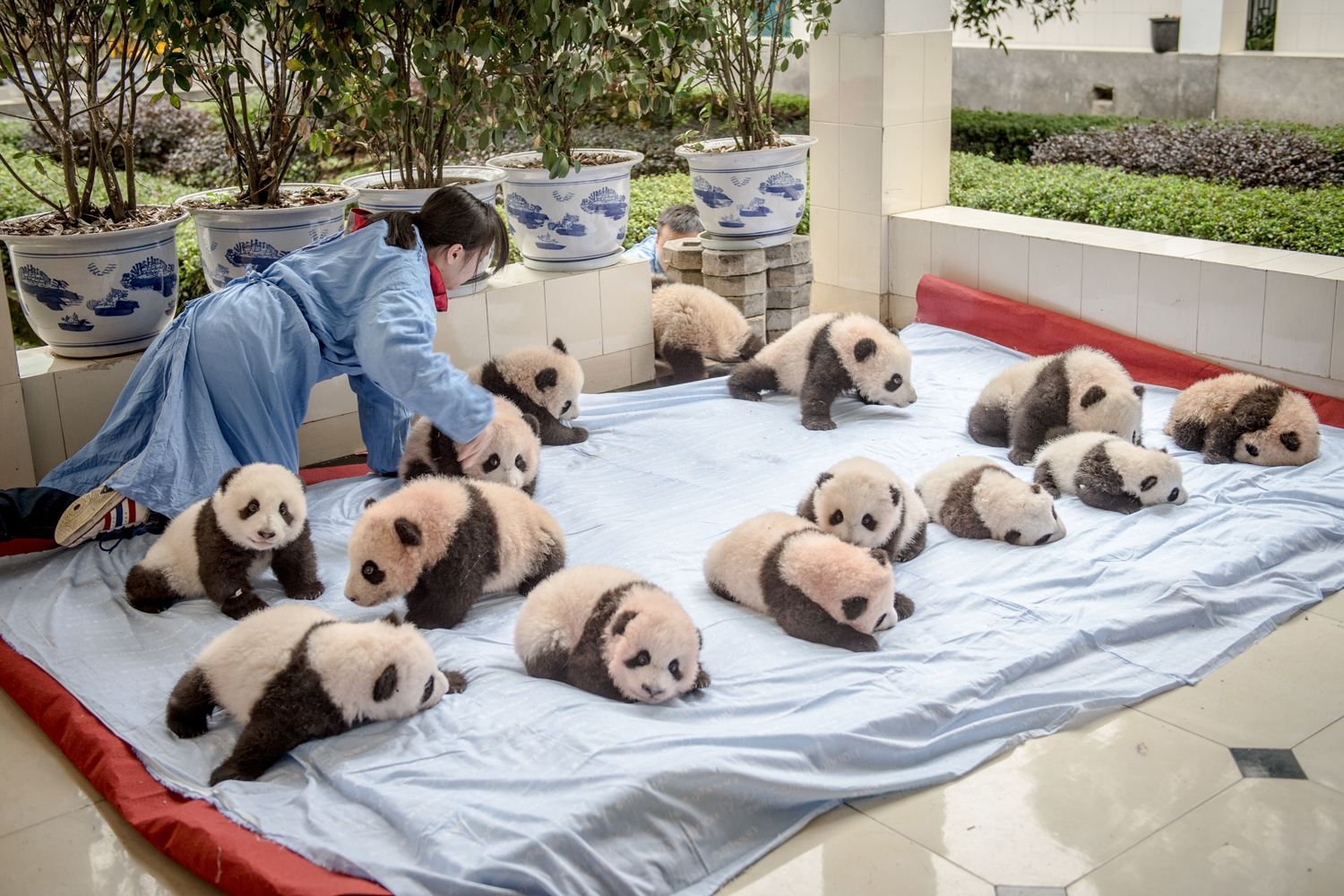 Fourteen panda cubs displayed on a blanket at the breeding center of Bifengxia Panda Base managed,  by China Conservation and                               Research Center for the Giant Panda.