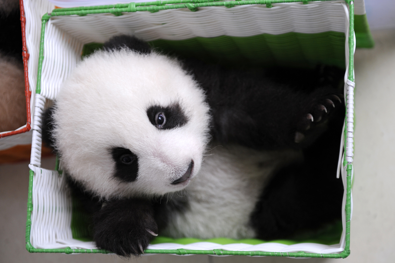 A baby captive bred panda sits in a basket at the panda breeding center of Bifengxia Panda Base                               in Ya'an, Sichuan, China.