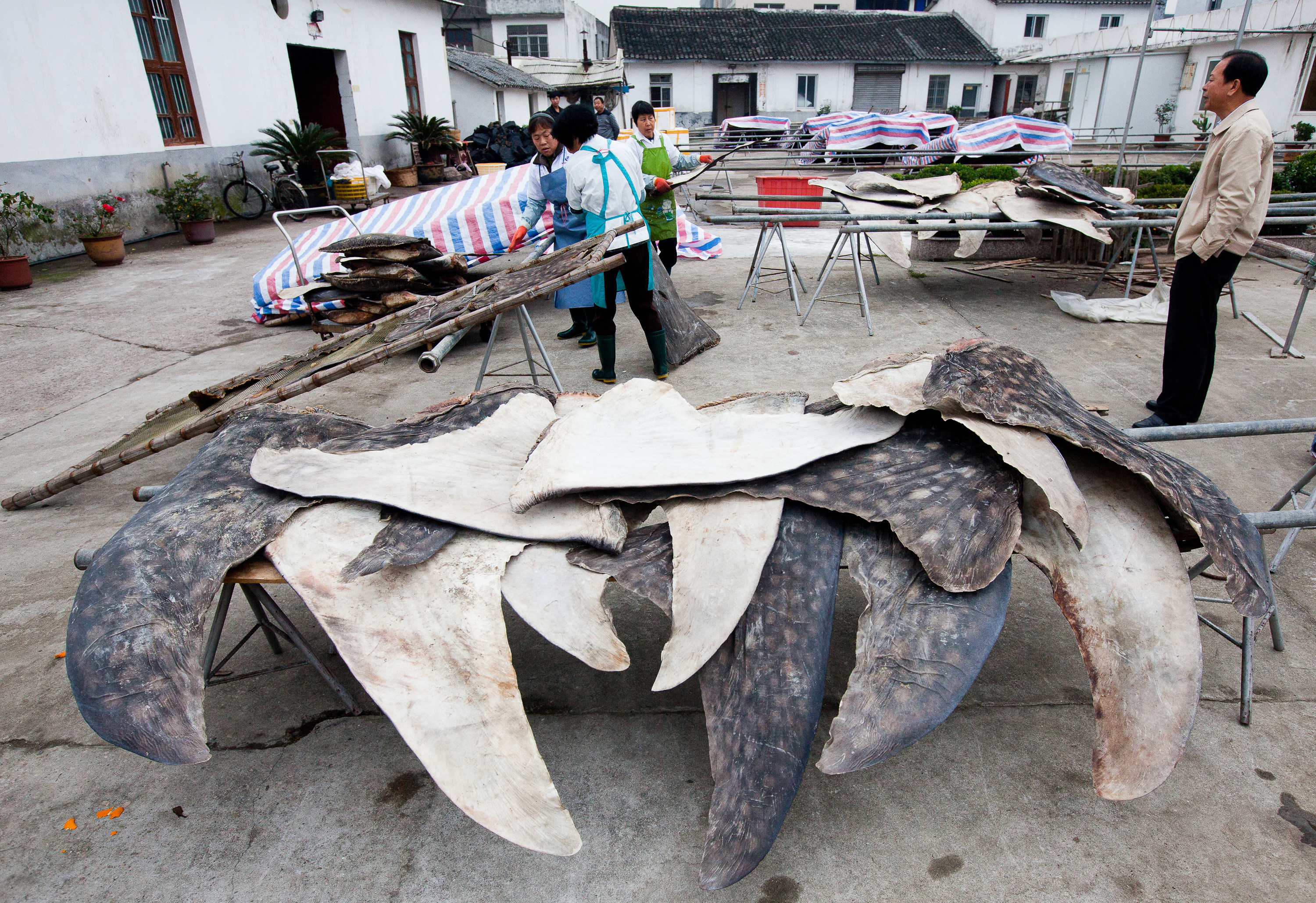 Whale-shark fins are dried and stacked for export at a processing plant in Puqi, Zhejiang province, China