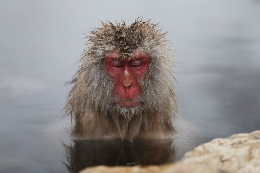 A Japanese Macaque - or Snow Monkey - soaks in a hot spring at a snow-covered valley in Yamanouchi town, central Japan, Jan. 20, 2014.