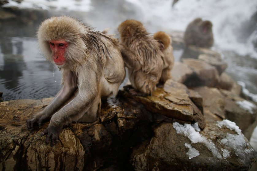Japanese Macaques - or Snow Monkeys - groom each other in a hot spring at a snow-covered valley in Yamanouchi town, central Japan, Jan. 20, 2014.